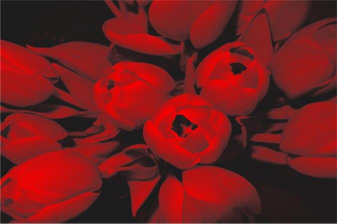 Tulipani rossi artfrigo for Frigoriferi rossi